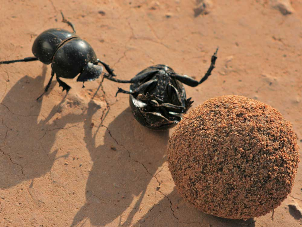 Addo Dung Beetle in South Africa